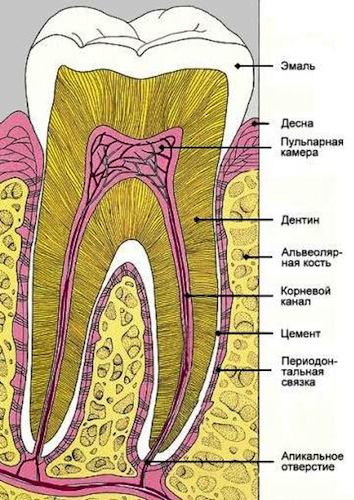 Зубы стоматологи отмечают